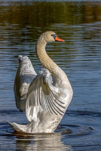 swan s-curve-Edit-Edit.jpg
