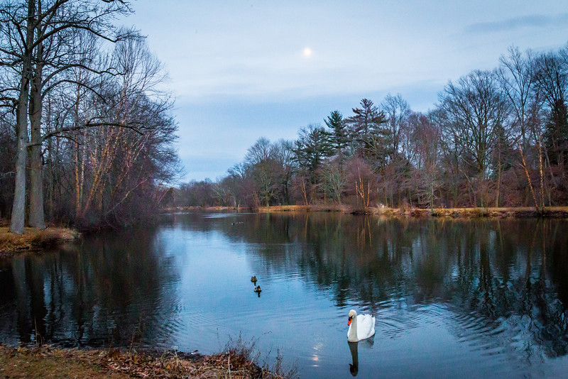 Swan looking at the moon reflection