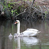 Female Swan Carries Chicks Piggyback
