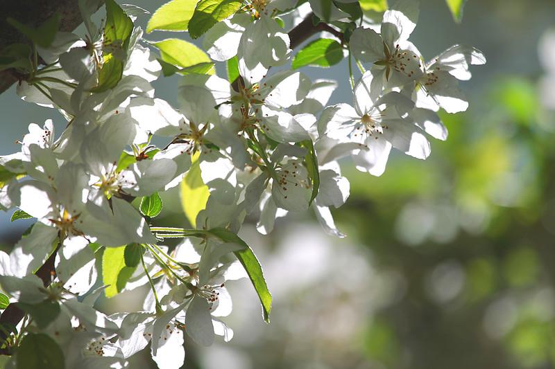 Blossom Pear Tree