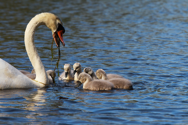 Female Swan Feed Cygnets with Weed