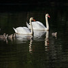 Male & Female Swan with Seven Their Seven Chicks