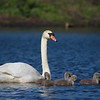 Female Swan and Seven Chicks