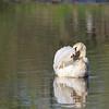 Elegant Swan in the Lake