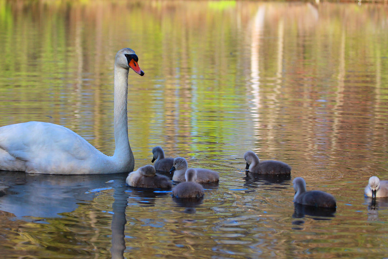Female Swan and Her Cygnets