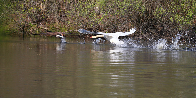 A Male Swan Driving out  Canadian Goose