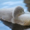 Sleeping Cygnet