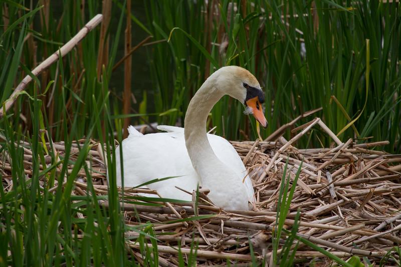 Swan Hatches Eggs