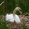 Swan Hatches Eggs