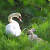 Female Swan and Two Baby Swan taking a rest.