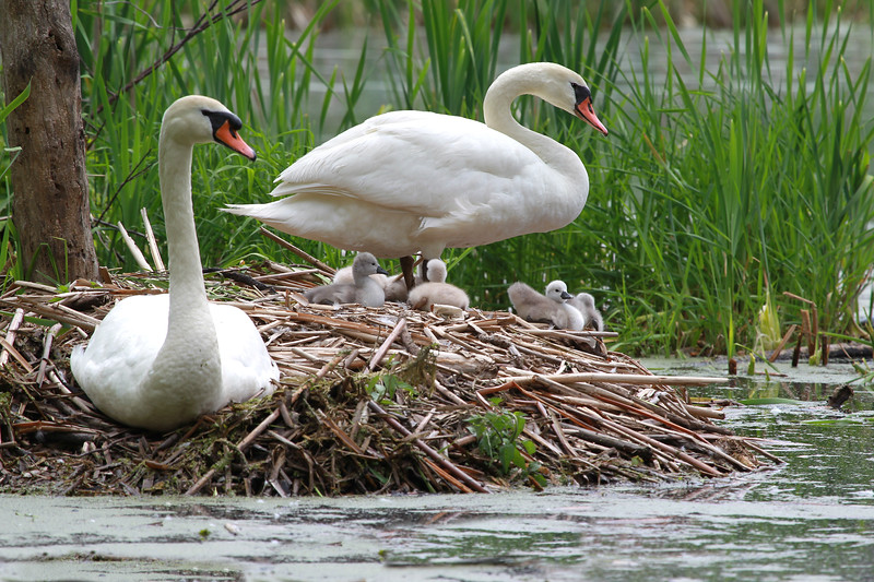 Swan  Couple and Six Cygnets on Nest