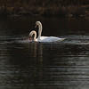 First Complete Series of Swans' Mating Ritual Photos 2/9