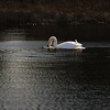 First Complete Series of Swans' Mating Ritual Photos 7/9
