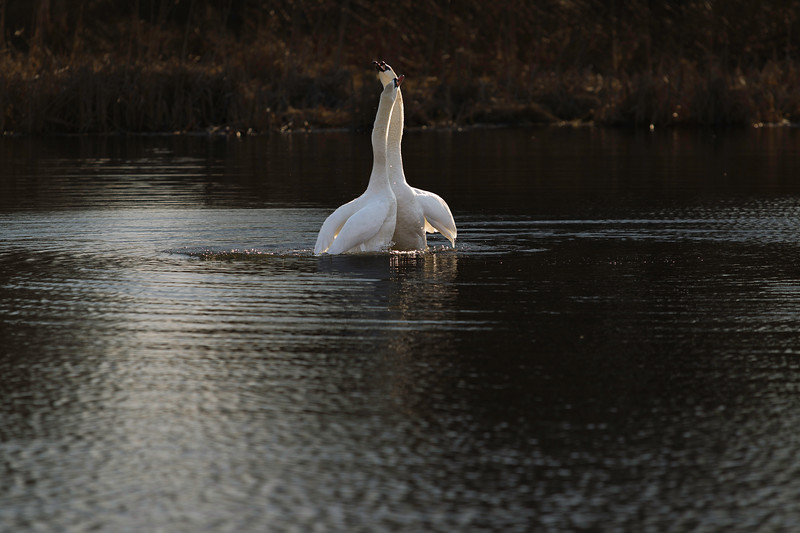 First Complete Series of Swans' Mating Ritual Photos 9/9