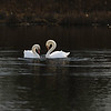 First Complete Series of Swans' Mating Ritual Photos 1/9