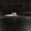 First Complete Series of Swans' Mating Ritual Photos 4/9