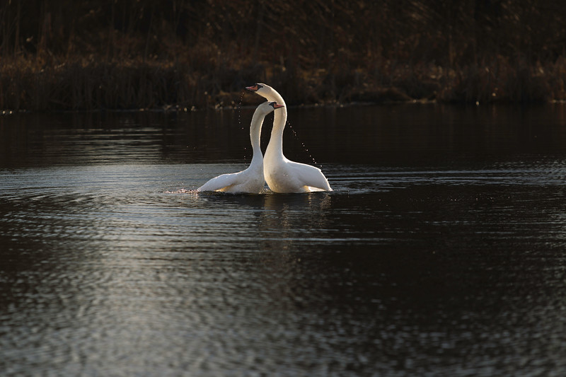 First Complete Series of Swans' Mating Ritual Photos 8/9