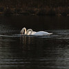 First Complete Series of Swans' Mating Ritual Photos 3/9