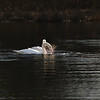 First Complete Series of Swans' Mating Ritual Photos 5/9