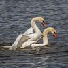 Mute Swan - Knopsvane