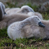Mute Swan ~ Knopsvane