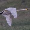 Whooper Swan - Sangsvane
