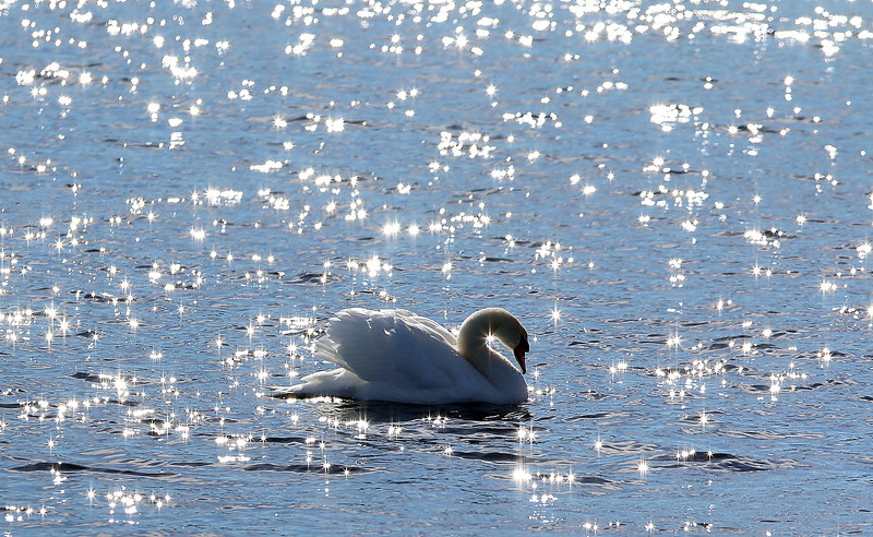 The sun was glistening of the water as a swan stopped by the Merrimack River in Lowell on Monday February 6, 2017 to take a bath to get clean. SUN/JOHN LOVE