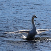 The cold weather did not stop a bunch of swan from stopping by the Merrimack River in Lowell on Monday February 6, 2017 to take a bath to get clean. SUN/JOHN LOVE