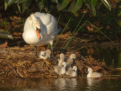 Swans of Viera,