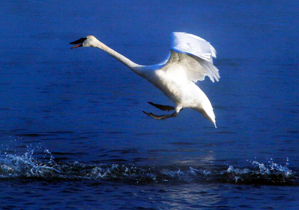 Trumpeter swans 14
