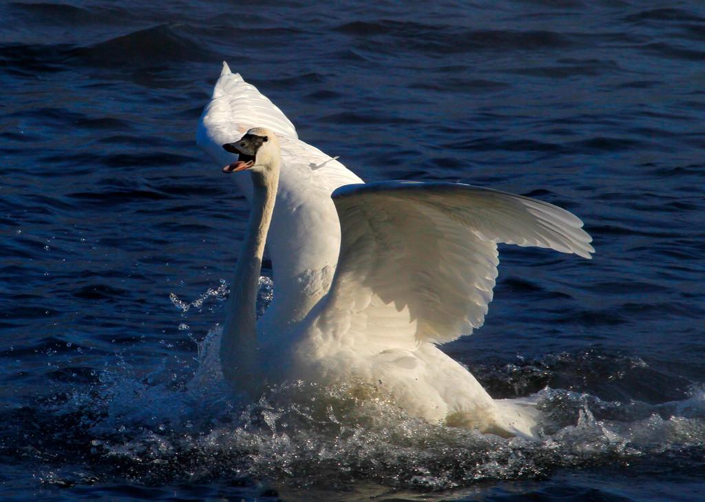 Trumpeter swans 28