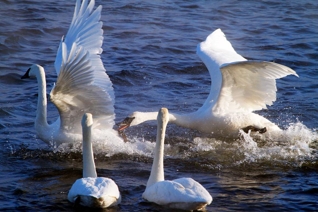 Trumpeter swans 27