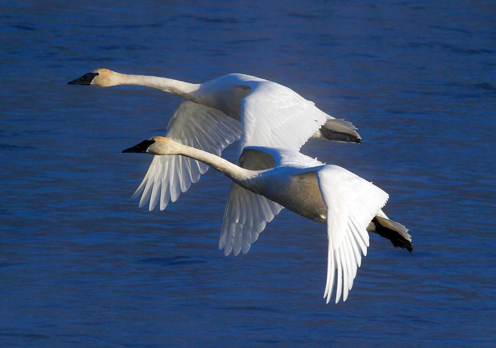 Trumpeter swans 25