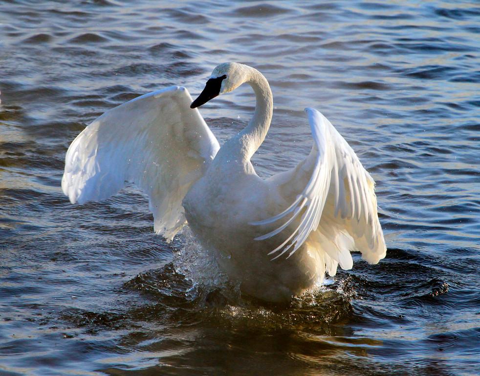 Trumpeter swans 16