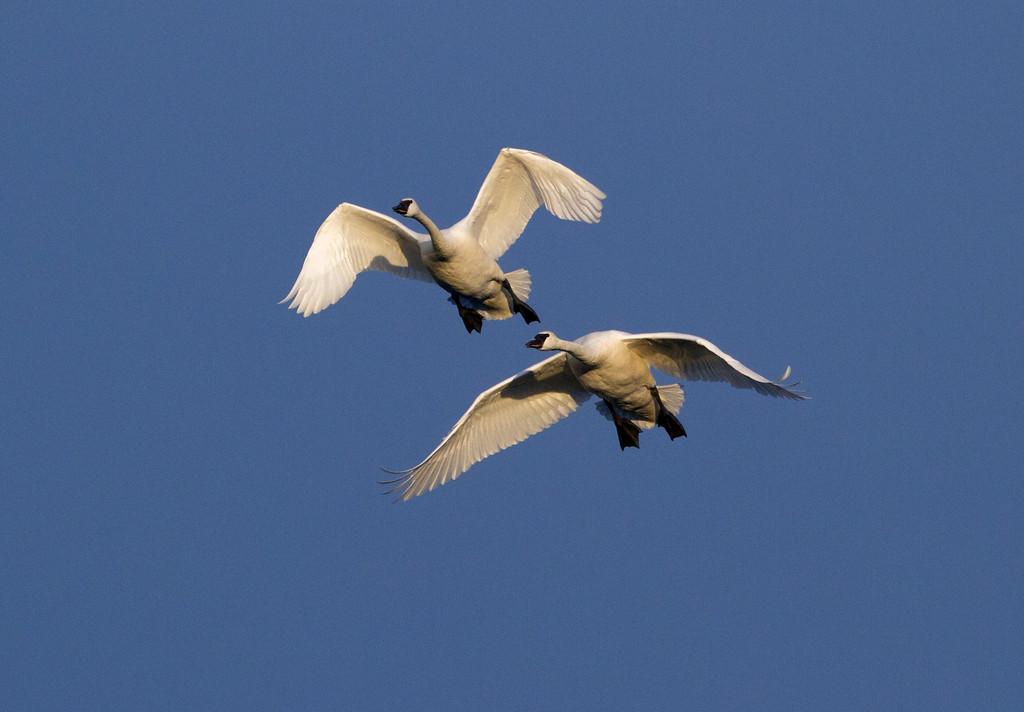 Trumpeter swans 22