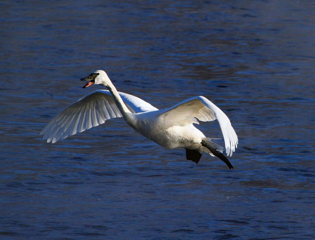 Trumpeter swans 30