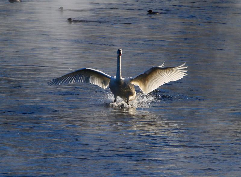 Trumpeter swans 34
