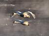 Trumpeter swans 65