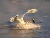 Trumpeter swans 66