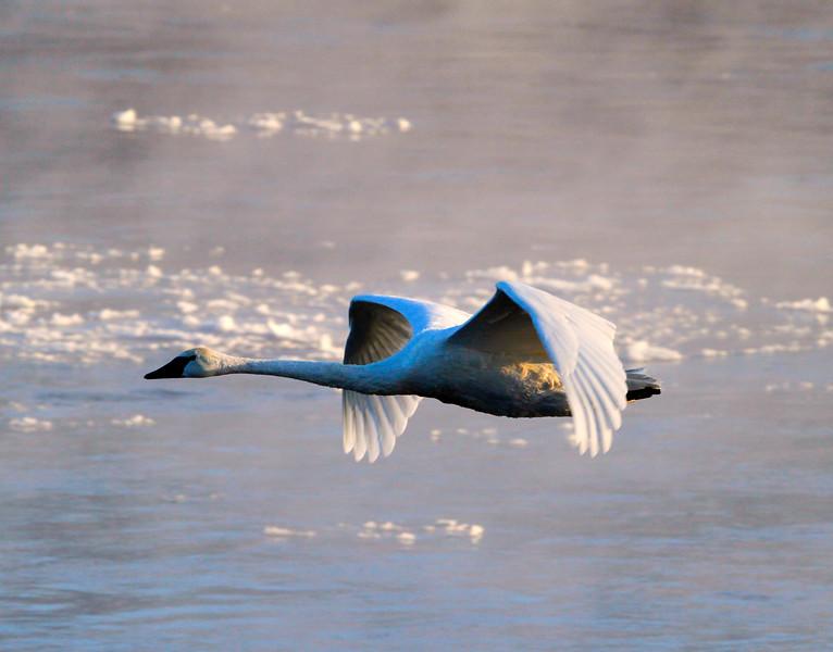 Trumpeter swans 62