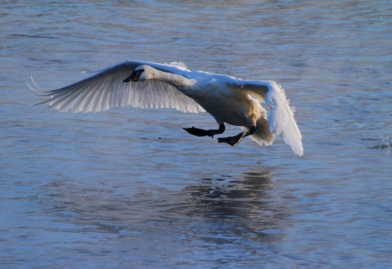 Trumpeter swans 57