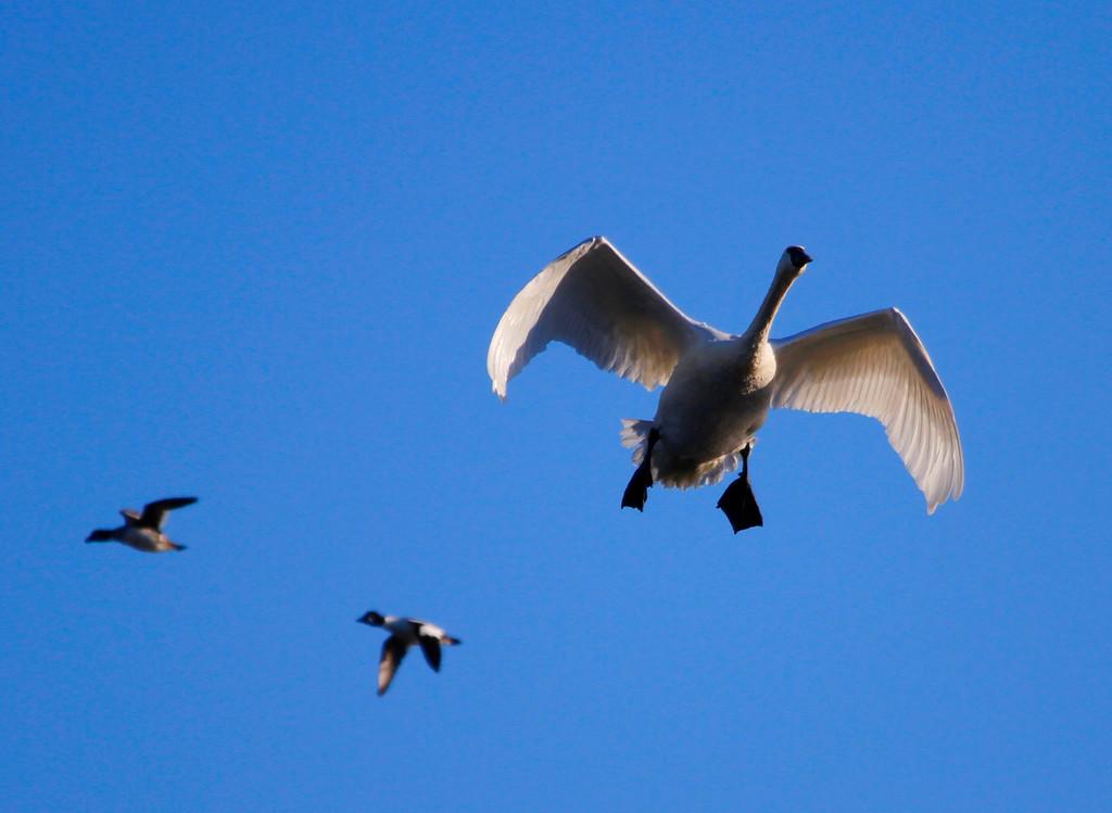 Trumpeter swans 43