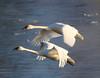 Trumpeter swans 64