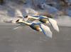 Trumpeter swans 68