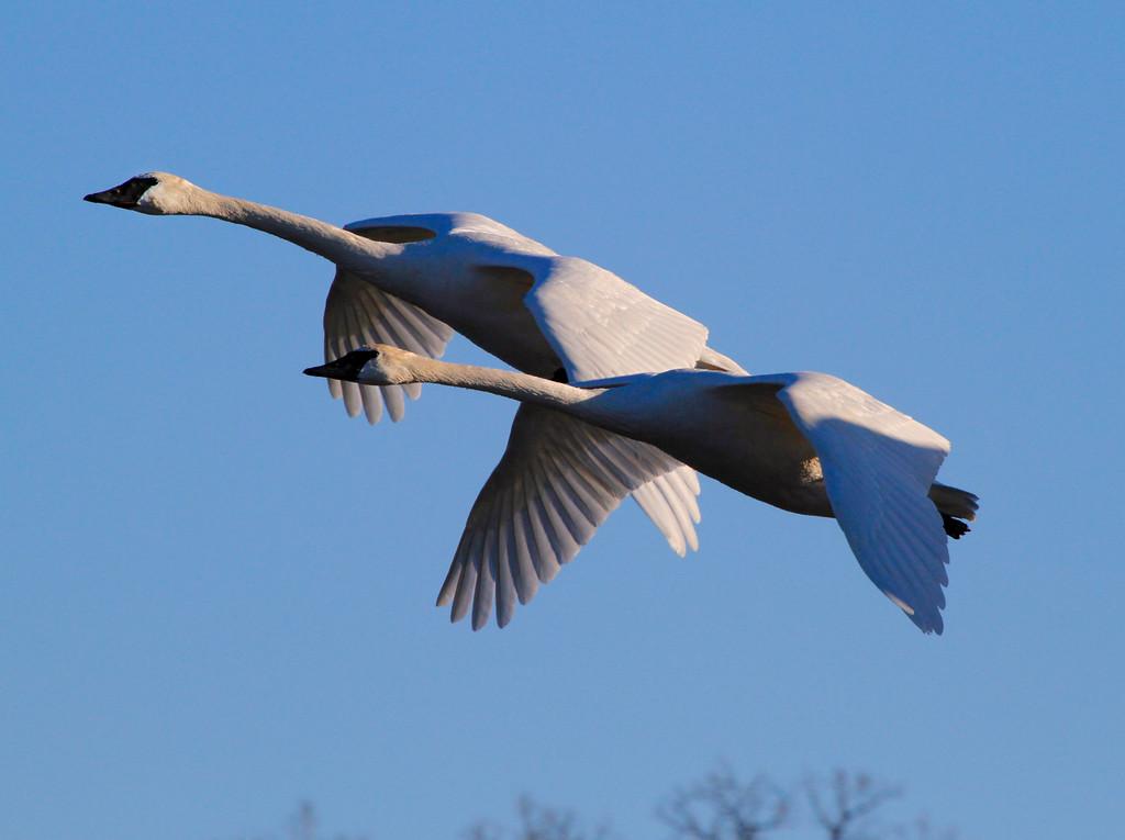Trumpeter swans 46