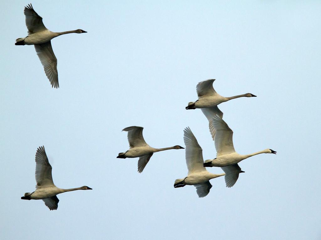Trumpeter swans 10