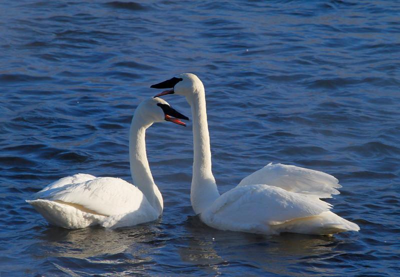 Trumpeter swans 37