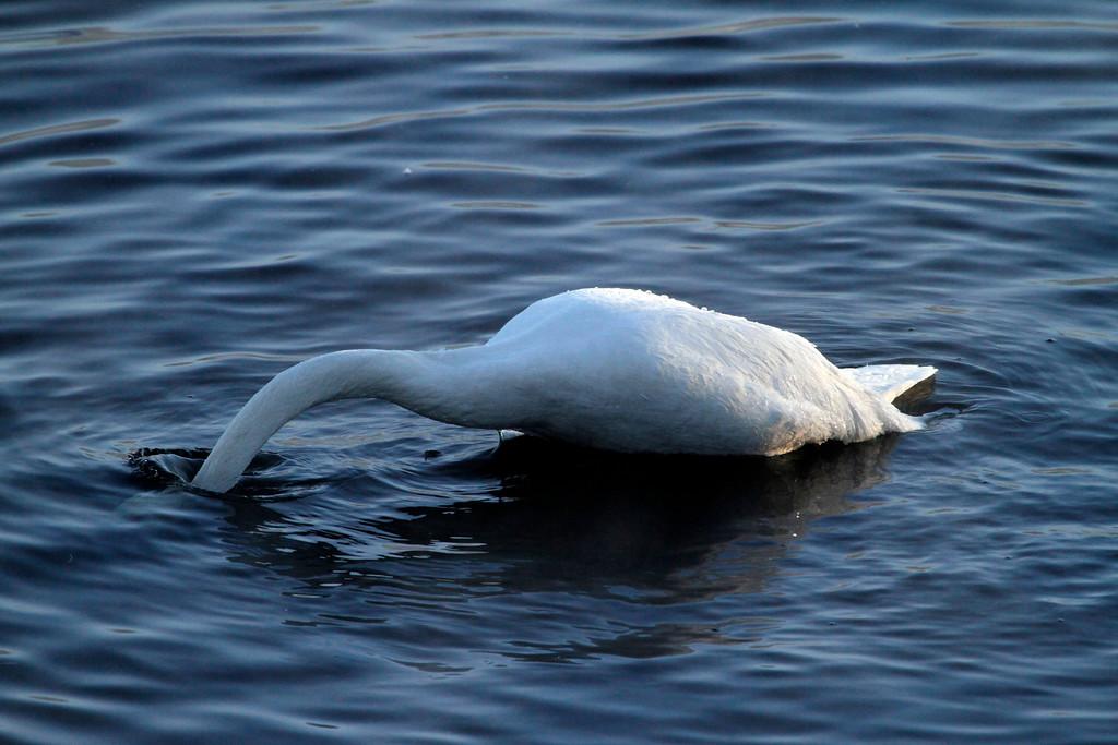Trumpeter swans 9