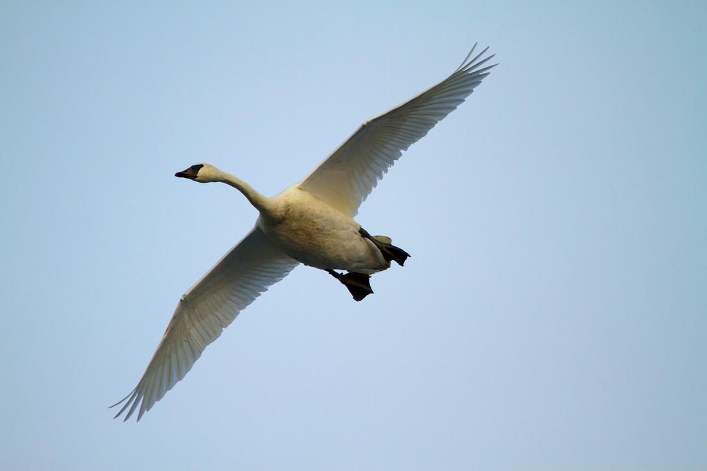 Trumpeter swans 15