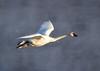 Trumpeter swans 67
